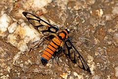 Ceryx cf.sphenodes - a clearwing Tiger Moth (BugsAlive) Tags: moth polilla motte falena มอด мотылек 蛾 koi møll animal outdoor insects insect lepidoptera macro nature arctiidae ceryxsphenodes tigermoth arctiinae wildlife lamnamkoknp chiangrai liveinsects thailand