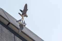 Peregrine Tussle (craig.denford) Tags: woking peregrine falcon surrey one show juvenile tiercel export house craig denford fledge fledging richard taylor jones
