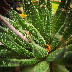 Succulent closeup Los Angeles Cactus & Succulent Society Plant Show & Sale 2017 (lacactus.com) Spent an hour or so at the show on Saturday checking out all the great vendors and plants. #cactus #succulents #garden #plants #nature #LA #losangeles #californ (dewelch) Tags: ifttt instagram succulent closeup los angeles cactus society plant show sale 2017 lacactuscom spent an hour or saturday checking out all great vendors plants succulents garden nature la losangeles california iglosangeles losangelesgram whereamila instalosangeles caligrammers lagrammers losangelesgrammers discoverla conquerla unlimitedlosangeles californiacaptures uglagrammers iggarden flowersofinstagram flowerstagram treestagram rainbowpetals plantstagram