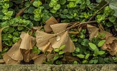Gingko_MG_0147 (Explore) (918monty) Tags: beautifulfoliage leaves waterdrops ginkoleaves dallas texas textures dallasarboretumandbotanicalgarden driedleaves naturalcomposition flickrexplore