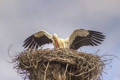 CICOGNA A KILOMETRO ZERO !!! (FRANCO600D) Tags: cicogna stork oasi oasideiquadris fagagna nido natura ali volatile canon eos600d sigma franco600d