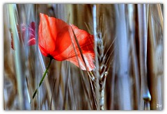 Transparence (au35) Tags: coquelicot fleur flower blé herbe travers rouge red