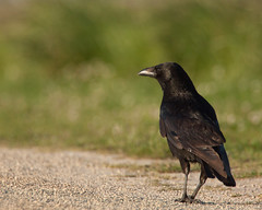 Crows Morning Stroll (markholden42) Tags: carrion crow focus plane walking stroll coast