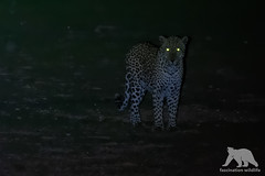 Glowing Eyes (fascinationwildlife) Tags: animal mammal predator leopard night nocturnal male big cat elusive feline wild wildlife nature natur national park ktp kalahari kgalagadi desert urikaruus camp south africa summer südafrika glowing eyes thrill