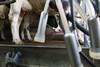 pawu032 (Otwarte Klatki) Tags: krowa krowy mleko zwierzęta cielak ferma andrzej skowron