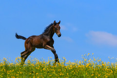 The joy of Spring (FocusPocus Photography) Tags: fohlen foal pferd horse wiese meadow weide pasture butterblumen buttercups himmel sky warmblut warm marbach hauptundlandgestüt