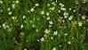 Große Sternmiere (Stellaria holostea) und Gelbe Taubnessel (Lamium ); Bergenhusen, Stapelholm (3) (Chironius) Tags: stapelholm bergenhusen schleswigholstein deutschland germany allemagne alemania germania германия niemcy blüte blossom flower fleur flor fiore blüten цветок цветение weis gelb caryophyllales nelkenartige caryophyllaceae nelkengewächse stellaria sternmieren asterids lamiids lamiales lippenblütlerartige lamiaceae lippenblütler lamioideae taubnessel lamium