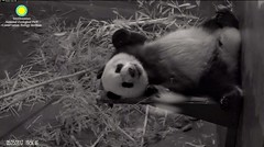 2017_05-25f (gkoo19681) Tags: beibei fuzzywuzzy chubbycubby feetsies sleepyhead adorable mirroredimage toocute bigbelly contentment comfy ccncby nationalzoo