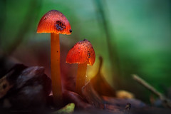 magic mushrooms (gnarlydog) Tags: fungi mushroom australia rainforest adaptedlens vintagelens backlit flare manualfocus bokeh red orange colorful nature closeup fujinon55mmf22 surreal