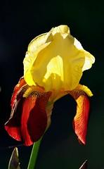 Iris macro3 (mamietherese1) Tags: earthmarvels50earthfaves phvalue
