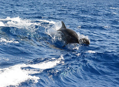 BOTTLE NOSED DOLPHIN (concep1941) Tags: dolphin family mammals ocean seas artiodactyla delphinidae sonar nature water