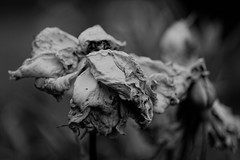 (dead)rose in my garden (paflechien33) Tags: nikon d800 micronikkor105mmf28afsifedvrg
