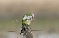Cotorra (Myiopsitta monachus) (SergioEtcheverria) Tags: aves birds argentina rawson d500 cotorra monkparakeet