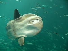 Mondfisch - Klumpfisk - sunfish - Mola mola (achatphoenix) Tags: mondfisch sunfish molamola hirtshals dänemark denmark danmark aquarium klumpfisk