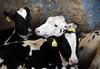 pawu030 (Otwarte Klatki) Tags: krowa krowy mleko zwierzęta cielak ferma andrzej skowron