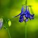 Ancolie sauvage ( Aquilegia vulgaris )