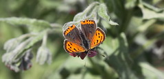 """Lycaena phlaeas"" - kleine vuurvlinder (bugman11) Tags: kleinevuurvlinder butterfly butterflies bug bugs fauna insect insects animal animals lycaenaphlaeas canon 100mm28lmacro nederland thenetherlands nature macro bokeh amsterdamsewaterleidingduinen thegalaxy 1001nightsmagiccity 1001nights platinumheartaward"