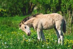Konik Foal (Nix Alba) Tags: horses ponies equines wildhorses dun meadows parks restoration preservation stallion mare foal