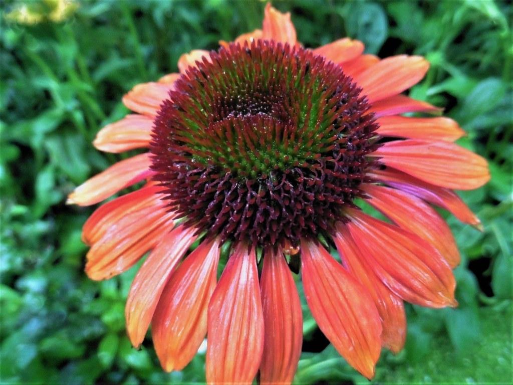 sonnenhut blume lieschens bilder blume sonnenhut pflanzen pinterest how to make echinacea. Black Bedroom Furniture Sets. Home Design Ideas