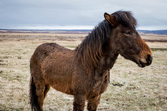 Icelandic Horse, Iceland (dommmmh89) Tags: iceland icelandic horse brown alone wild wildlife travel travelling adventure