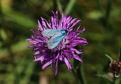 Widderchen (Hugo von Schreck) Tags: hugovonschreck widderchen moth butterfly schmetterling falter macro makro insect insekt canoneos5dsr onlythebestofnature yourbestoftoday