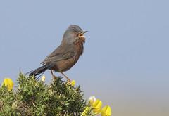 Dartford Warbler (J J McHale) Tags: dartfordwarbler sylviaundata warbler wildlife nature sing