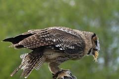 Time for a snack! (JerryGoulet) Tags: outdoors owl birdsofprey nature nikon light food dinner lunch zoo park safari angle gauntletbirdsofpreyeagleandvulturepark
