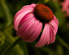 Streamlined 0720 (Tjerger) Tags: nature beautiful beauty bloom closeup coneflower flora floral flower garden green macro orange pink plant streamlined summer wisconsin natural