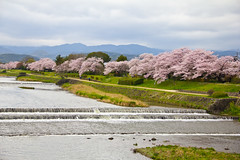 Kamo River, Kyoto (johnshlau) Tags: beauty charm kamoriver kamogawa riverbanks river joy sakura cherryblossoms fullbloom cherry blossoms bloom 鴨川 kyoto japan flowers flora nature pink landscape spring springtime hanami さくら 桜