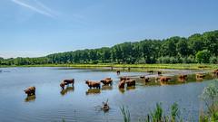 At the border of Rotterdam (FotoCorn) Tags: deruigte nature natuur vlaardingen middendelfland water lake hooglanders netherlands rotterdam highlandcattle broekpolder