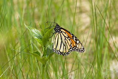First Monarch Butterfly (f) (raymond TO) Tags: