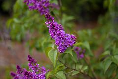IMG_6556 (Aphernai) Tags: newengland nature canon80d flowers springtime newhampshire lilacs