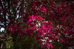 IMG_6553 (Aphernai) Tags: newengland nature canon80d flowers springtime trees