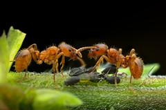 Mutual life II (epioxi) Tags: epioxi redant ameise macrophotography macro aphids componon schneiderkreuznach handheld