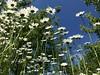 Margeriten (Blende2,8) Tags: reutlingen rommelsbach blüten wiese streuobstwiesen himmel margeriten