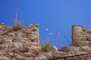 85 - Split, Croatie, Mai 2017 - des fleurs sauvages dans la vieille ville