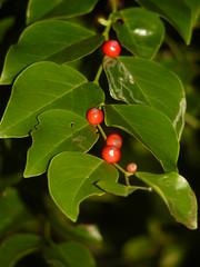 Breynia stiptata (tammoreichgelt) Tags: fruit phyllanthaceae bush fart shrub apple dwarfs breynia coffee daintree queensland