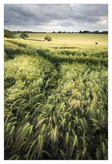 Windswept - in explore (Dave Fieldhouse Photography) Tags: evening westmidlands overcast birmingham crops fields farming summer portrait barley food wind movement shadows light landscape england west midlands green windy wwwdavefieldhousephotographycom fuji fujifilm fujixt2 cloudy