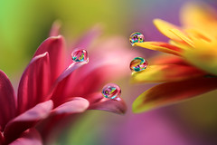 Hey.....it's crowded here! (Marilena Fattore) Tags: artistic canon tamron colors water waterdrops nature closeup focus petals reflection bokeh droplet pink red yellow softness pastel flores gerbera flower garden softflowers spring macrophotography onlyflowers green