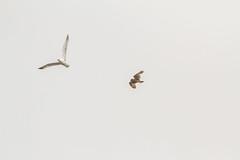 BirdID WP Bulgaria 2017 (_alcedo_) Tags: asioflammeus birdidwpbulgaria2017 birds blacksea borisbelchev bulgaria kaliakra nature owls shortearedowl strigidae biodiversity migrant recordshot wintering wwwalcedowildlifecom