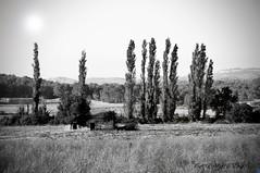 """Cyprès ... ( P-A) Tags: provence midi soleil tournesol récolte culture aride sec brulant cyprès arbres limites terre cultivateurs exploiteurs récoltes saintcanat labarden nb photos simpa© """"nikonflickraward"""""""