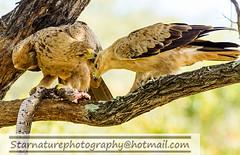 DSC011161 copy (naturephotographywildlife) Tags: kruger wildlife scenery animals birdlife a99ii africa park eagle