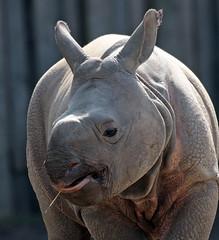 indian rhino Planckendael JN6A4212 (joankok) Tags: rhino rhinoceros planckendael indianrhino pansterneushoorn neushoorn mammal zoogdier dier animal asia azie