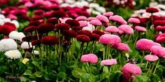 7DWF - Friday - Flora (Chris Scopes) Tags: 7dwf fridayfloraflowers nature park birkenhead liverpool