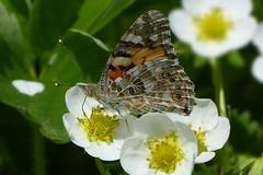 Painted lady - Distelvlinder (joeke pieters) Tags: 1340377 panasonicdmcfz150 distelvlinder paintedlady vanessacardui vlinder butterfly schmetterling papillon insect platinumheartaward ngc npc