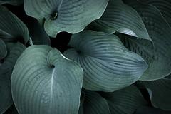 big blues (PenelopeEfstop) Tags: garden plant spring sculptural flowersplants tonal hosta