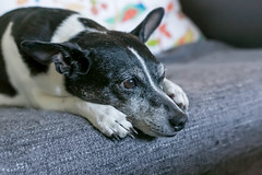 Cookie (Mike Matney Photography) Tags: 2017 canon cookie eos6d illinois june midwest ratterrier troy dog dogs unitedstates us