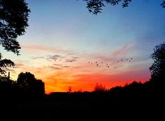 Rise and Shine Geese (barbara_donders) Tags: sunset zonsopgang zon sun ganzen vliegen flying vlucht ochtend early landscape landschap prachtig mooi morning beautifull inhetveld veld field inthefield grassland natuur nature goirle dutch