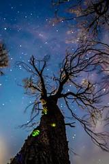 Ghost Mushroom Tree-4 (Quick Shot Photos) Tags: bellarine bellarinepeninsula canon fungi ghostmushrooms oceangrove ptlonsdale astro nature wallington victoria australia omphalotus nidiformis au