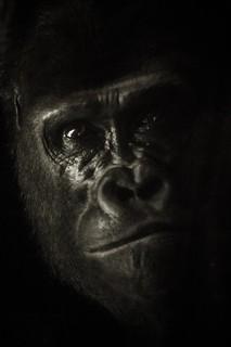 Mister Gorille